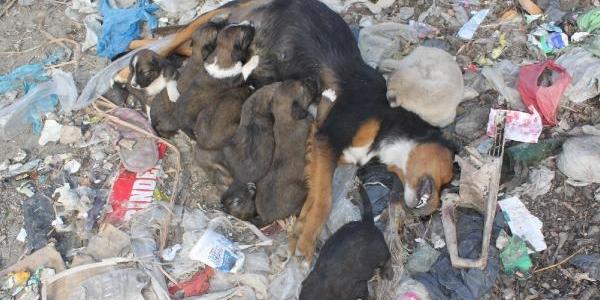 Yavru Köpekler Ölen Annelerini Emmeye Çalişti