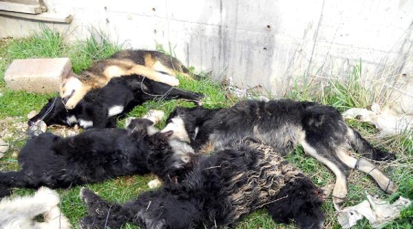 Yavru Köpekleri Birbirine Bağlayıp, Tüfekle Vurarak Öldürdüler