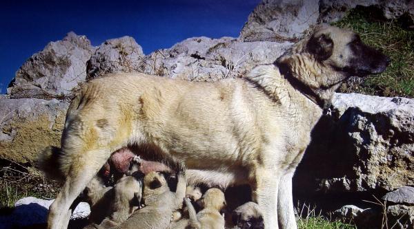 Yerli Köpek Irklari Antik Eser Gibi Korunmalı