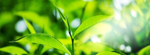 Yeşil çay kanserli hücreleri yok ediyor
