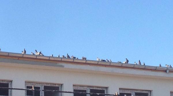 Yıkılacak Binadaki Yavru Güvercinler Başka Yere Alındı