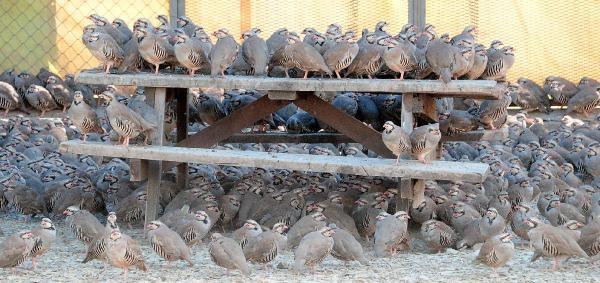 Yozgat'ta 10 Bin Keklik Doğaya Salınacak