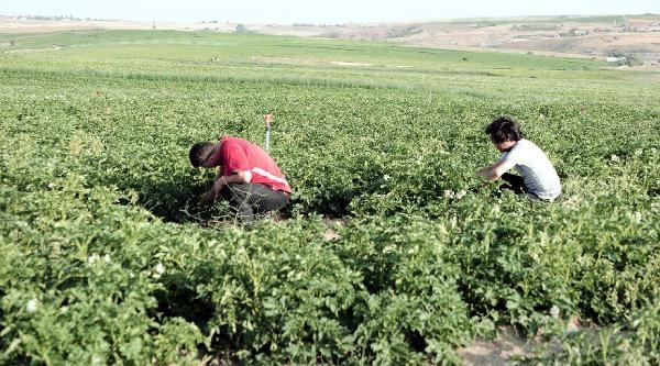Yozgat'ta Tarım Alanlarına Pancar Yerine Patates