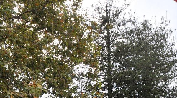 Zabıta Mallarına El Koyunca Ağaca Çikti