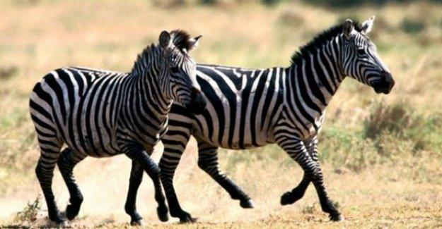 Zebraların postu neden siyah-beyaz?