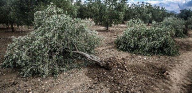 Zeytin ağaçlarını kesen firmaya ceza kesildi!