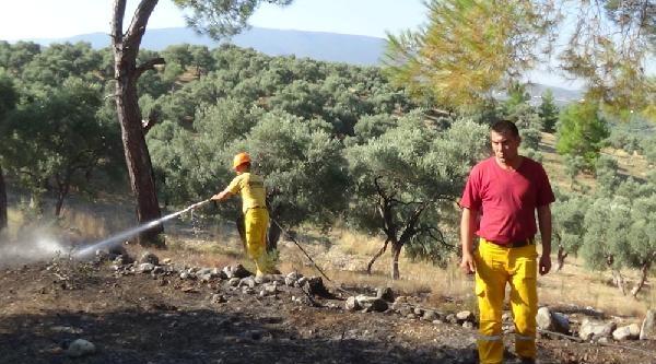 Zeytinlik Alanda Şüpheli Yangın