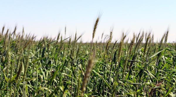 Zmo Başkanı Karademir; Adana Buğdayında Verim Kaybı Olacak