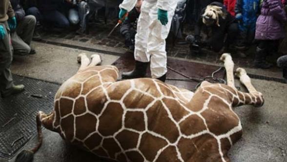 Zürafayı yer yok diye aslana yem ettiler!