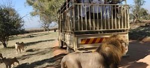 ABD'li turist fotoğrafını çektiği aslana yem oldu